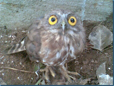 bird,owl