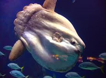 Amazing Pictures of Animals, photo, Nature, exotic, funny, incredibel, Zoo, ocean sunfish, Mola mola, or common mola, Alex (3)
