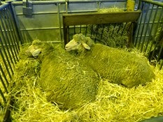 2015.02.26-053 mouton est à laine Mérinos