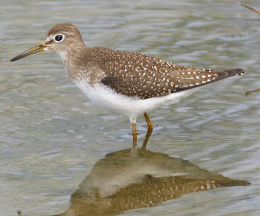 9-19-09, Minor Clark Fish Hatchery, Solitary Sandpiper, 11:12 a.m.
