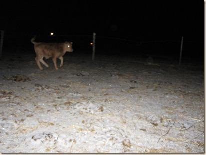 calf 017