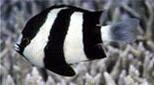 Polynésie demoiselle bleue à queue blanche
