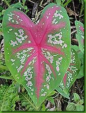 Caladiuns e flores 26 nov 2011 011