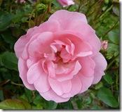 kailzie pink rose