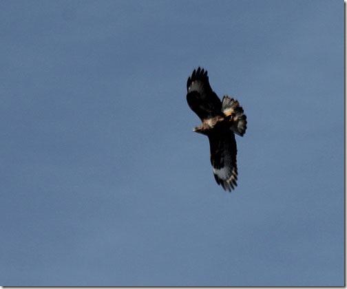 49-buzzard