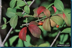 burning bush with fruit