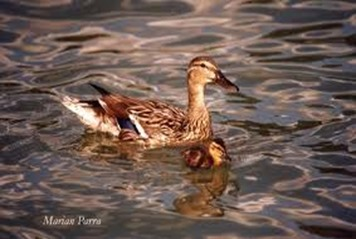 Amazing Pictures of Animals, photo, Nature, exotic, funny, incredibel, Zoo,  Mallard, Wild Duck (Anas platyrhynchos), Alex (9)