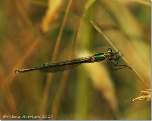 Emerald-Damselfly