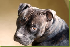 sweet staffie