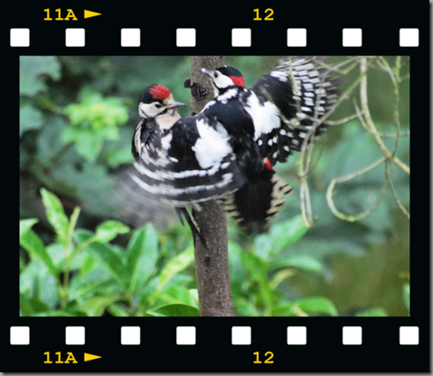 Male woodpecker feeding young 01 film png