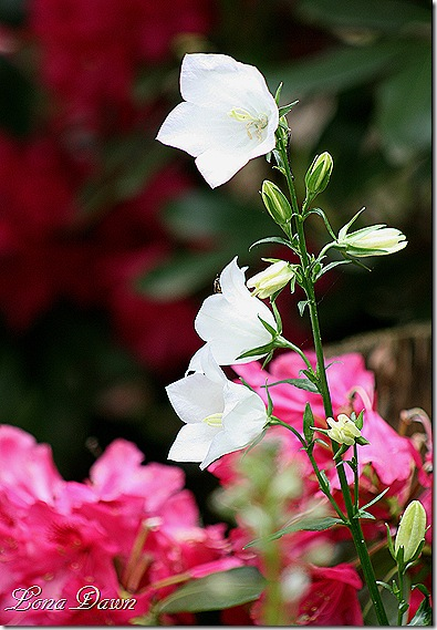 Campanula_Peachleaf_White