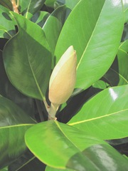 Ed Gorey house magnolia blossom unopened