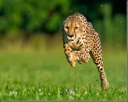 Amazing Animal Pictures Cheetah (10)