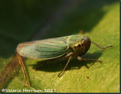cicadella-viridis