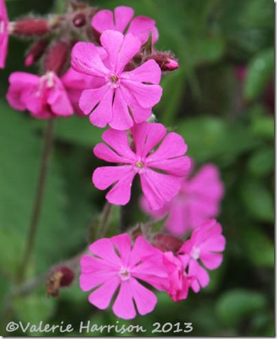 8-red-campion