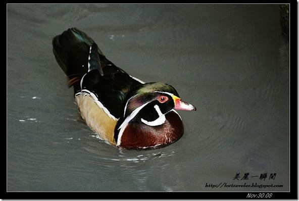 美洲木鴨(2008-08-17兆豐農場)6794