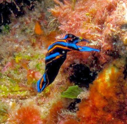 Amazing Pictures of Animals, Photo, Nature, Incredibel, Funny, Zoo, Chelidonura hirundinina, Aglajidae, Αlex (14)