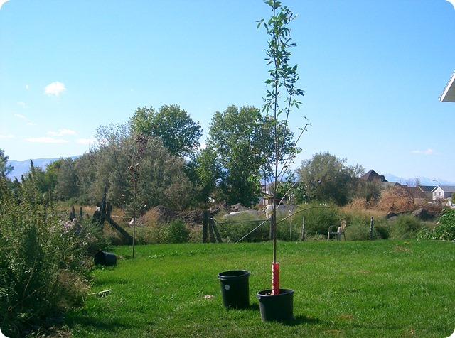 planting the patmore ash