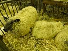 2015.02.26-030 mouton bleu du Maine