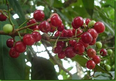 Syzygium polyalthum