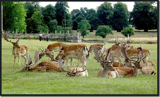 Fallow deer in the grounds of Charlecote Park