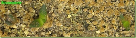 Ariocarpus furfuraceus Matehuala - SLP-2011-10-10_00019IMG_6808