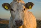 Rinder bei Sonnenaufgang im Teufelsmoor<br /> (Ohrmarken auf Wunsch unkenntlich gemacht trotz http://www.jurpc.de/rechtspr/20100154.htm)