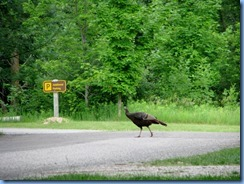 5114 Laurel Creek Conservation Area  - wild turkey