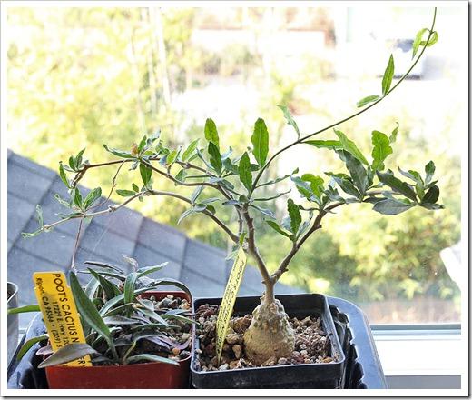 111218_Euphorbia-francoisii Fockea-edulis