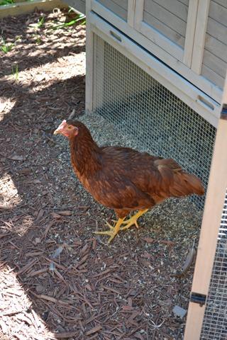 Chickens 13 Weeks 1