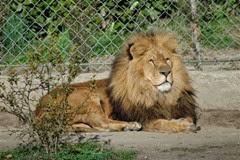 casteil lion