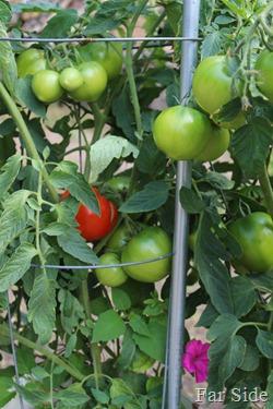 Tomato Surprize