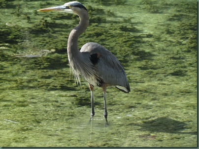 Great Blue Heron at Hunter Spring