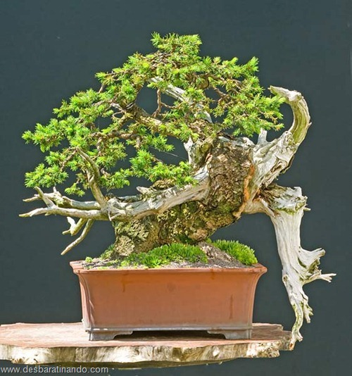 bonsais arvores em miniatura desbaratinando (68)