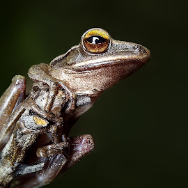 common tree frog by Hendrata Yoga Surya - Instagram & Mobile Android ( phone camera, common tree frog, kamera hp, katak pohon, amphibians )