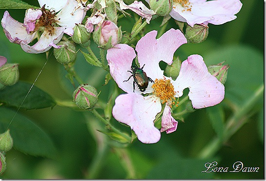Wildrose_JapaneseBeetle