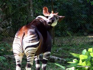 Okapi avec sa langue en captivité dans la réserve de faune à Okapi, 2005.