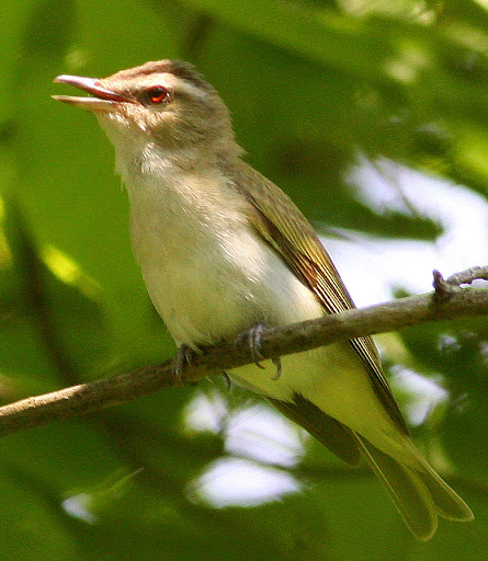 7-11-09, Picazo Farm pond, 1rst yr Red-eyed Vireo