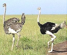 Struthio-African-Ostrich