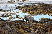 Luca_vanDuren_Large male otter-Mull Craignure harbour.JPG