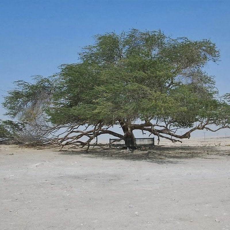 Tree of Life, Bahrain: A Miraculous Survival in the Desert