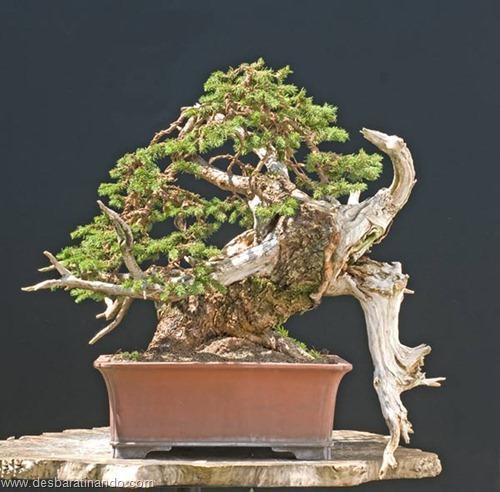 bonsais arvores em miniatura desbaratinando (38)