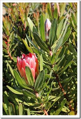 121027_UCSCArboretum_Protea-Pink-Ice_05