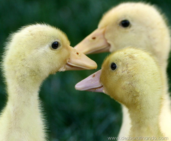 filhotes-patos-fofos-pequenos-desbaratinando (5)