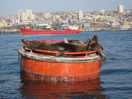 Sleeping sea lions in the Valparaiso harbor.