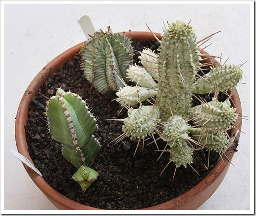 120226_Euphorbia-horrida_mammillaris_makallensis_12