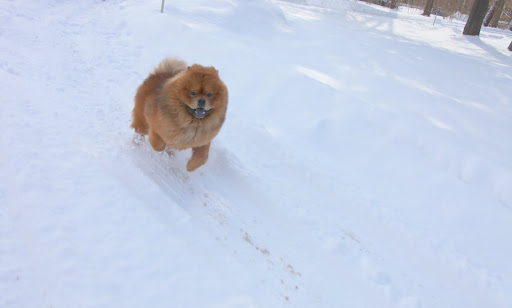 I can glide through the snow with little effort.  It's little wonder that Chows were once used as sled dogs.  Attach a sled - I won't mind!