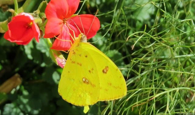 Phoebis philea philea (L., 1763). Environs de Curitiba (Paraná), 28 juillet 2013. Photo : Mauricio Skrock
