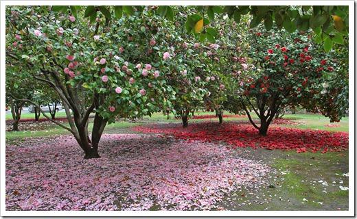 120317_Capitol_Park_Camellia-japonica_23