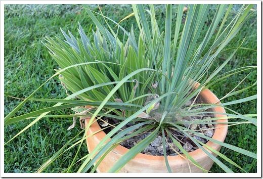 120908_Yucca-rostrata- -Echium-wildpretii_05